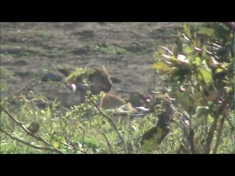 Injured Lion At Kumana Dam - 29 September 2012 - Latest Sightings