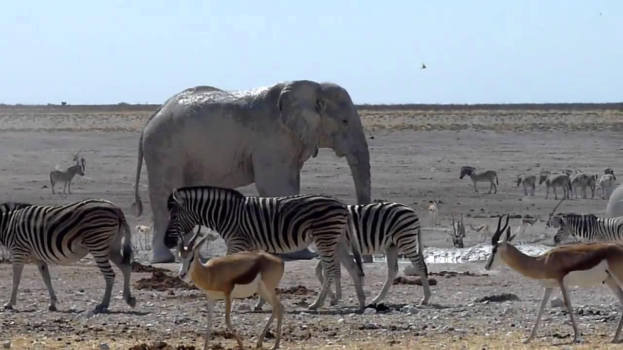 Elephant Vs Giraffe