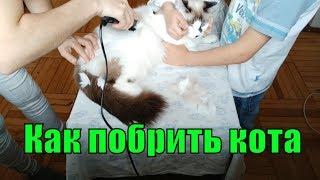 Как побрить кота. Пошаговая инструкция, как брить кота.