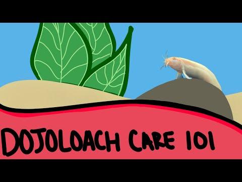 Dojo Loach Care - Fish Care 101