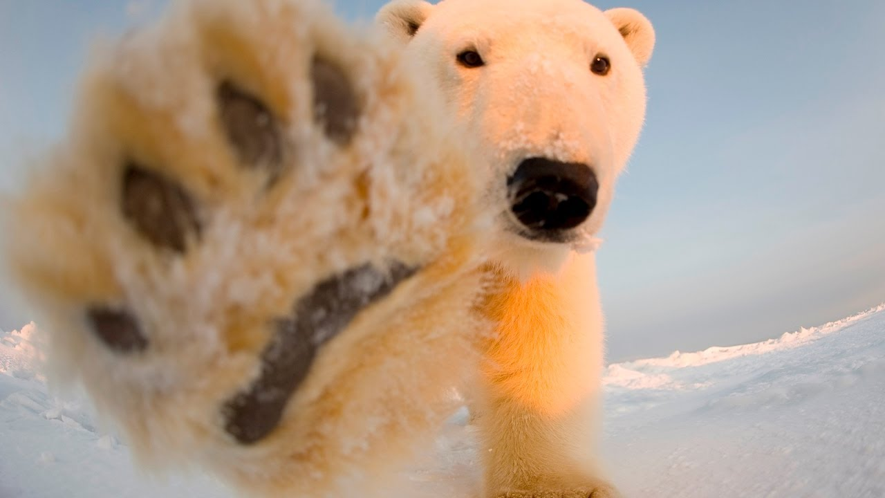 'Abundance' of Artic ice a concern for 'Polar bears' and 'climate change lu