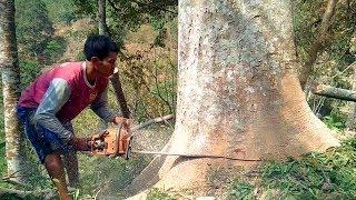 Tebang Pohon Sengon berusia 25 th. - Chainsaw NEW WEST 628