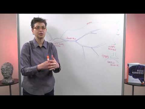 Working of neuron in brain