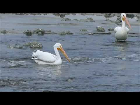 Watch: Port Project Creates Funky Plume Ride For Playful Pelicans