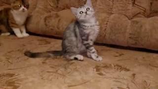 Кошечка скоттиш-страйт