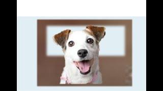 Прививки для собак. Джек-рассел-терьер (англ. jack russell terrier) — охотничья порода собак.