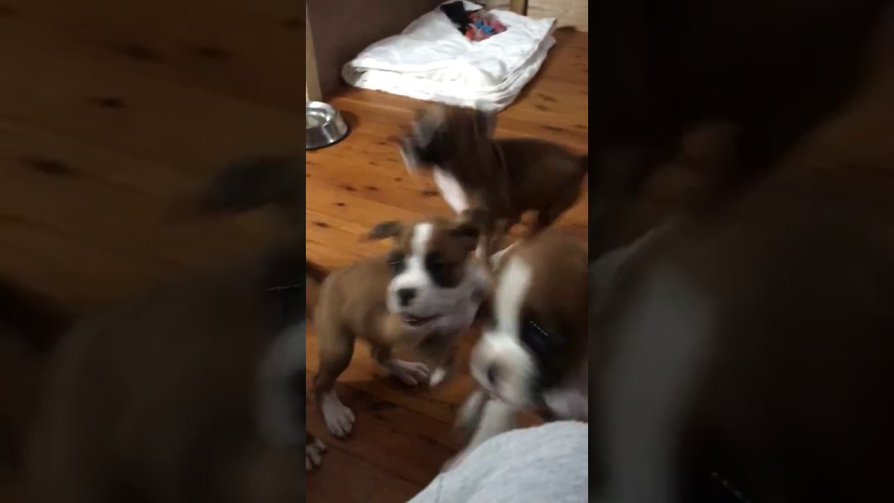 Boxer Puppies On The Run Youtube
