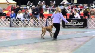 Rijecka's Cuyahoga Fire. Vizsla First Show. 6-9 Puppy Dog Cleveland, Ohio