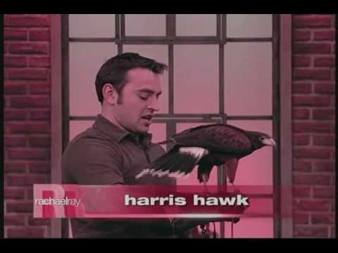 Hawk Creek Wildlife - Rachael Ray - Harris Hawk