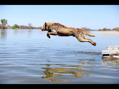 Best Funny Dogs Jumping Into Water Compilation 2018 || AHF