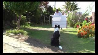 ボーダー コリー犬のジャンプ訓練 Jump training of dog.