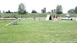 German Shorthaired Pointer Doing Agility