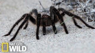L'araignée Goliath : La plus grande araignée du monde
