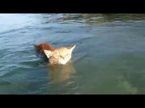 Как плавают коты видео