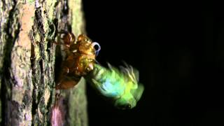 夏の終わりに蝉の羽化の様子を撮影しました 動画は写真を連続でつなげて...