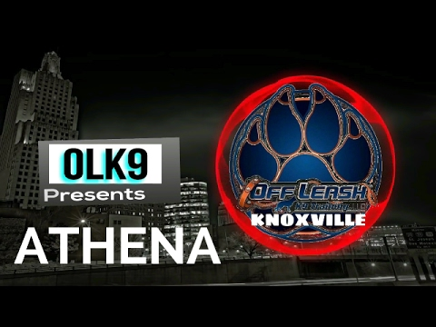 Knoxville Dog Trainers ~ Athena, 7 mo old German Shepherd, 2 Week Board & Train
