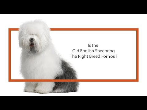 Learn all about the Old English Sheepdog and why they could be your perfect pet!