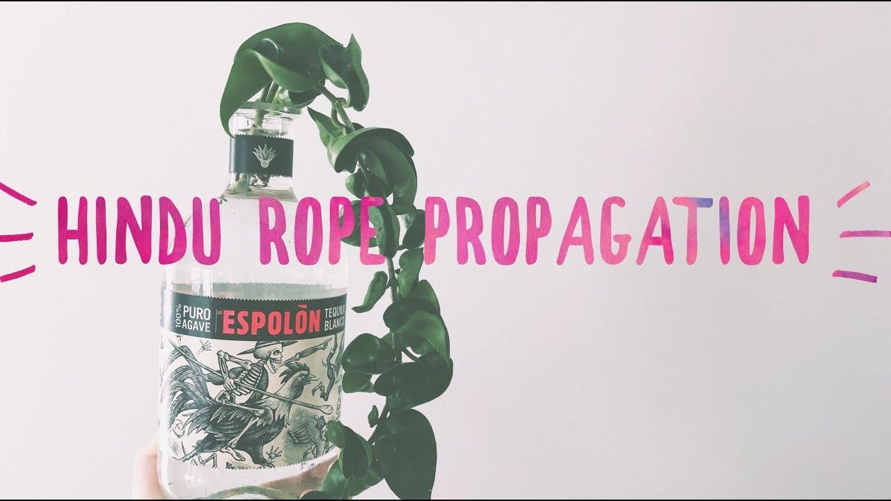 Hoya Hindu Rope Propagation House Plant Easy Care Youtube