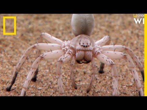 Ces araignées se cannibalisent