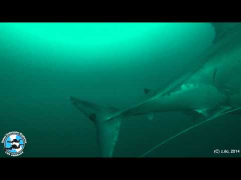 Too Close For Comfort - Great White Shark Encounter