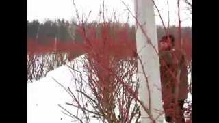 Cięcie borówki (cz. I) - Bluecrop
