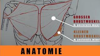 Brust Anatomie –  untere, mittlere, obere Brust (-Anteile) trainieren – Brust dehnen