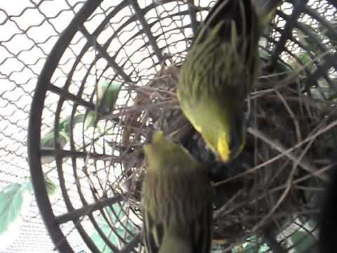 Cria en cautiverio de cardenal amarillo youtube for Cria de peces en cautiverio