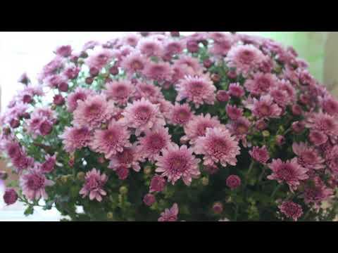 красивые фиолетовые хризантемы