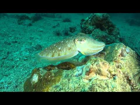 Cuttlefish Magically Changing Colors