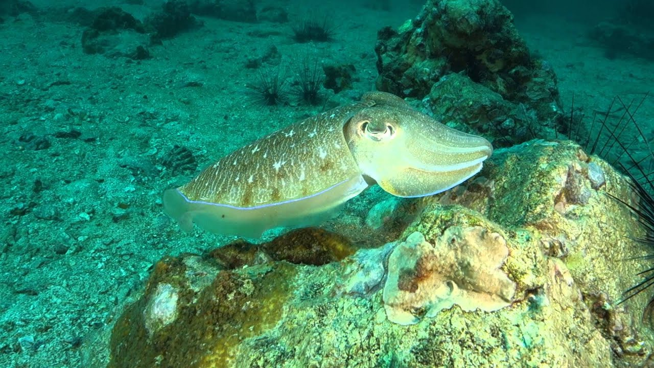 Cuttlefish Magically Changing Colors - YouTube