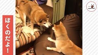 ソファーをめぐる柴犬の攻防戦💥【PECOTV】 thumbnail