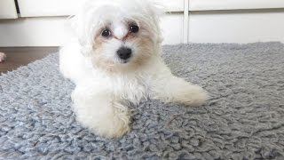 Layla - Maltese Puppy - 2 Week Residential Dog Training at Adolescent Dogs