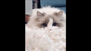 Ragdoll Cat Fur Color Like The Carpet 穿白色吉利服的貓咪偽裝成地毯  Cute Cat in Cat Vlog