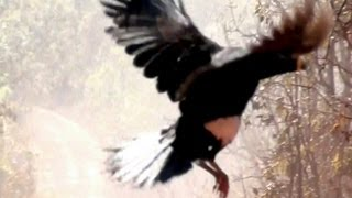 Mutuns de penacho, Aves selvagens, Crax Fasciolata, fauna brasileira,