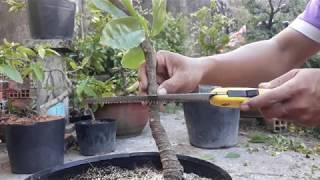 Kỹ thuật uốn cây mai vàng lớn bằng cưa