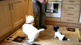Westie And Shih Tzu Puppy Doing Tricks