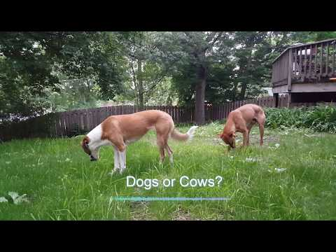 Dogs or Cows?