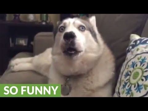 Jealous husky desperate for owner's attention