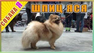 Шпиц Яся Собака я Выставка собак