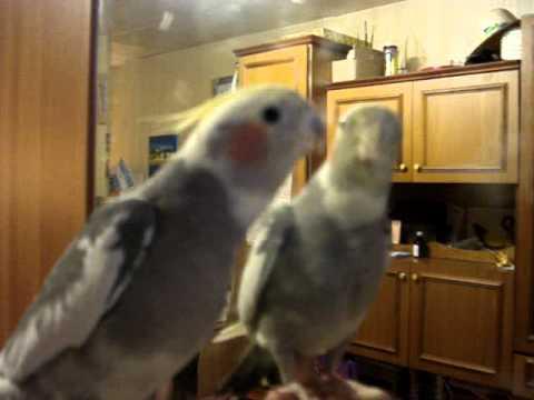 Попугайчик лижет зеркало