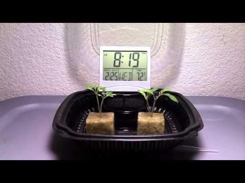 Hydroponic Tomato Experiment Time Lapse - Kratky Method