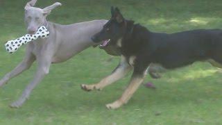 Sebastian & Naps Gsd & Weimaraner At A & B Dogs Boarding & Training Kennels.