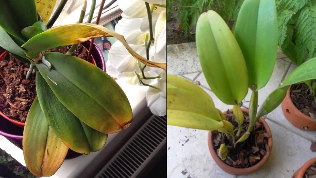 Resultado de imagem para orquideas sem flor amareladas