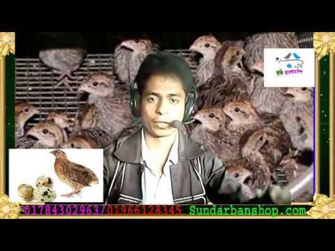 কোয়েল পাখি পালন শুরু থেকে শেষ01784302963(kirishi bangladesh)