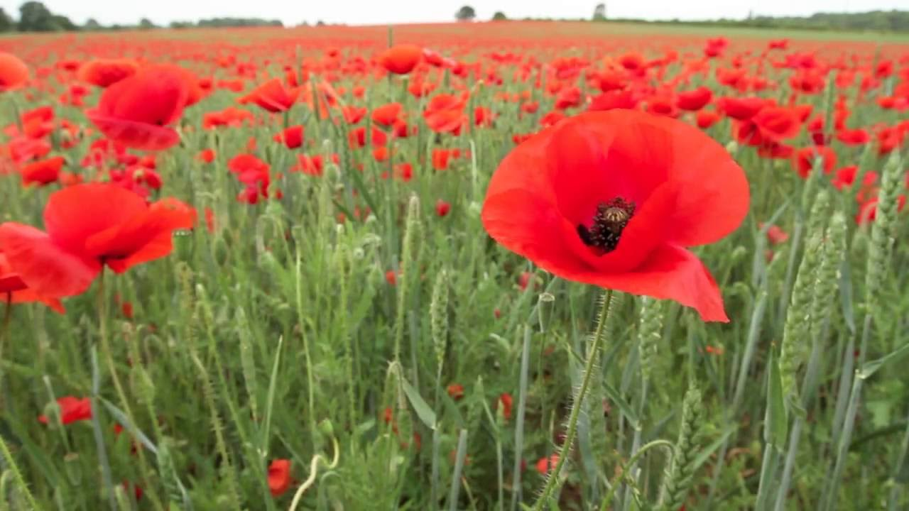 world war remembrance day tribute we will remember them youtube