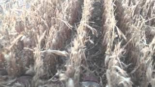 2388 case ih combining corn