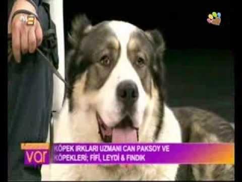 dev-köpek-fifi-ve-minik-köpek-fındık-ile-can-paksoy-tv8'de