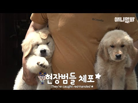7 Trouble-maker Retriver puppies.. But their moms on a vacation from childcare;;