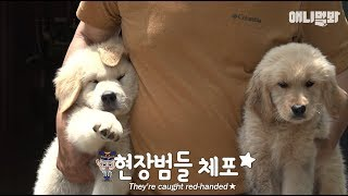 7 Trouble-maker Retriver puppies.. But their mom's on a vacation from childcare;;