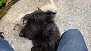 Perritos para Monta  Terrier Escocés